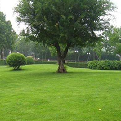 河北草坪基地