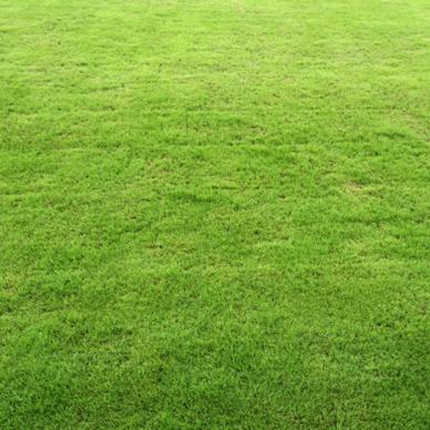 栾城早熟禾草坪