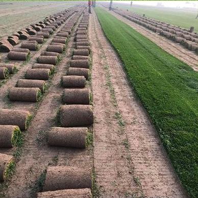 石家庄草皮生长过程