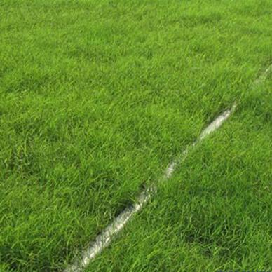石家庄早熟禾草坪