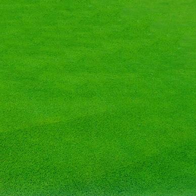 石家庄草坪基地草坪草