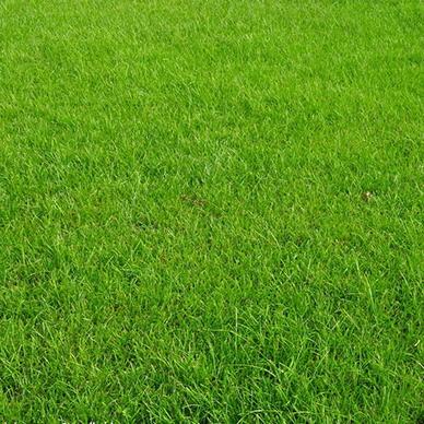 冷季型草坪补植的方式以及四季青草坪的播种趋势